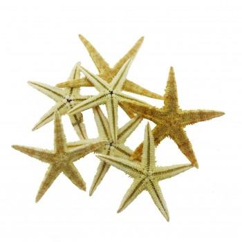 12 Adet 5,5-6cm Doğal Deniz Yıldızı
